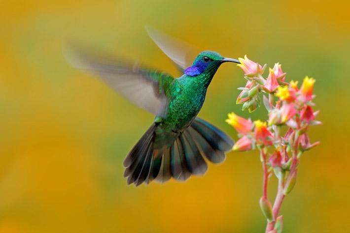 cuantos-anos-vivie-colibri