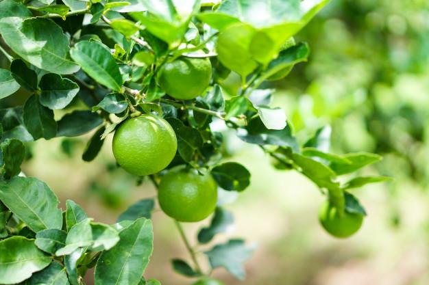 arbol-limon-verde-jardin_44766-7