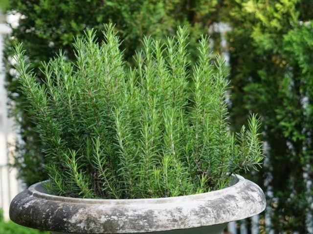 Cómo-cultivar-la-planta-de-romero-e1561467178537