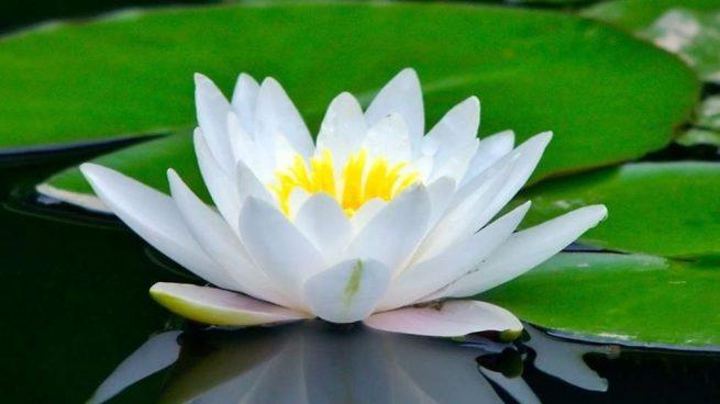 flor-de-loto_--como-es-y-cual-es-su-significado-655x368