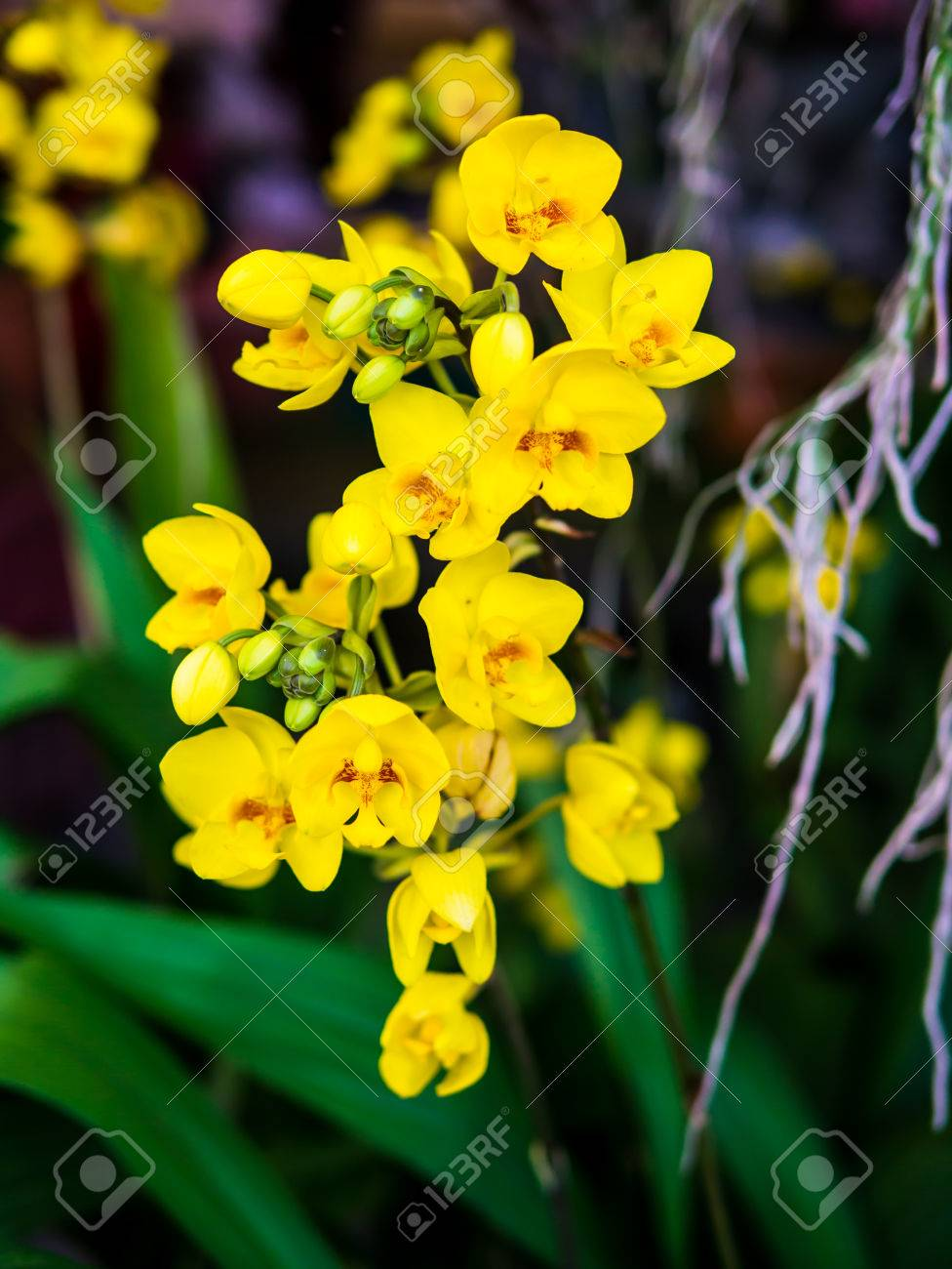 Soft focus yellow ground orchids. Orchid is queen of flowers. Or
