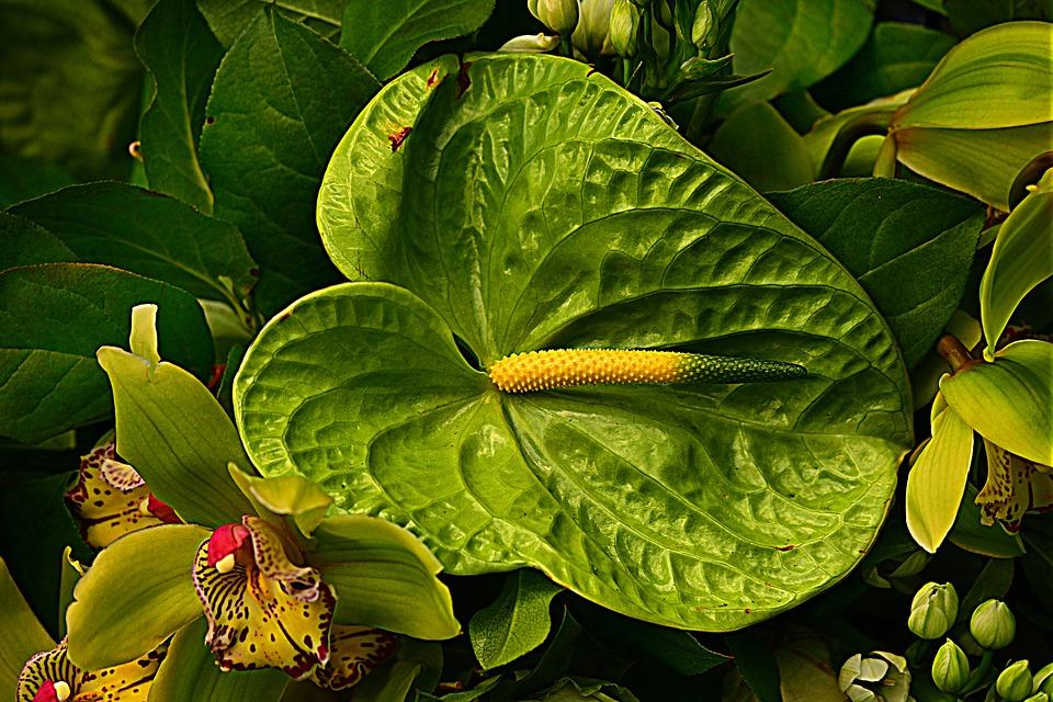 anturio-verde